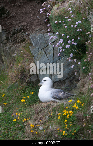Northern fulmar (Fulmarus glacialis) at nest on sea cliff, among thrift and birdsfoot trefoil flowers. Shetland - Stock Image