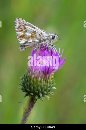 Alpine grizzled skipper - Stock Image