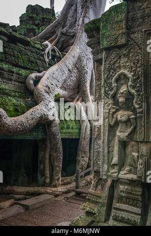 A large tree growing over the Ta Prohm temple in Cambodia - Stock Image