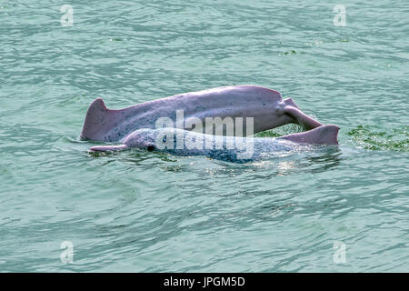 Indo-Pacific Humpback Dolphins (Sousa chinensis), one with a deep cut at the tail, probably due to entanglement. He / she is a lucky survivor. - Stock Image
