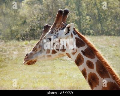 Adult Giraffe at the Wildlife Safari Park in Oregon State USA 2004 - Stock Image