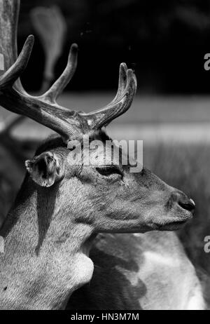 A side profile of a red deer with antlers - Stock Image