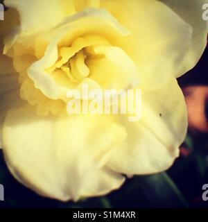 Daffodil on macro - Stock Image