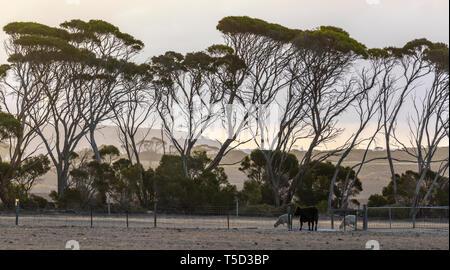 Pasture near Kingscote at sunset, Kangaroo Island, South Australia - Stock Image