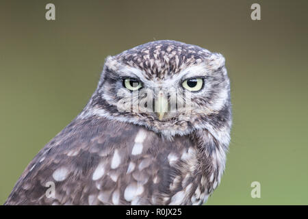 Burrowing Owl (Athene cunicularia) in a fir tree - Stock Image