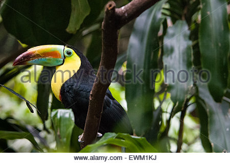 Side View of a Keel-billed Toucan, Ramphastos Sulfuratus, Tropical Rain Forest, Central Park Zoo, New York City, - Stock Image