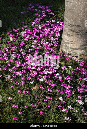 Cyclamen coum with pink and white flowers during late winter, February, England, UK - Stock Image