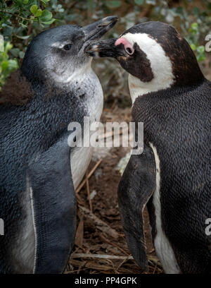 Chick being groomed: African penguins (Spheniscus demersus), also known as the jackass penguin and black-footed penguin of Boulders Beach, Western Cap - Stock Image