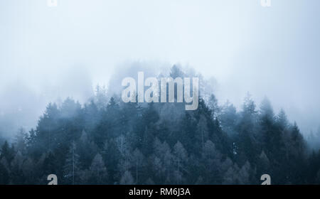 Foggy landscape. Firs tree tops in coniferous forest in the mist. Adamello park, Passo del Tonale, Italy. Melancholic, nostalgic feel. Soft cold tone. - Stock Image