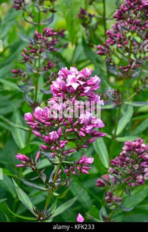 Phlox paniculata 'Natural Feelings' - Stock Image