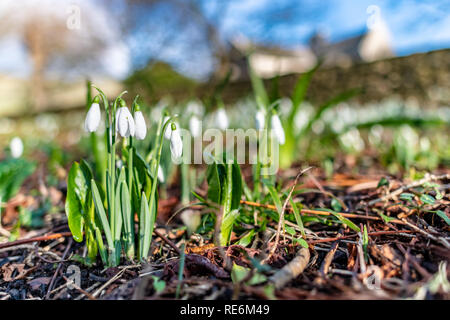 Wareham, UK. Sunday 20th January 2019. Snowdrop flowers come out unusually early on a sunny day in the middle of January 2019. Credit: Thomas Faull/Alamy Live News - Stock Image
