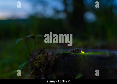Single glowworm on tree stump in summer night - Stock Image