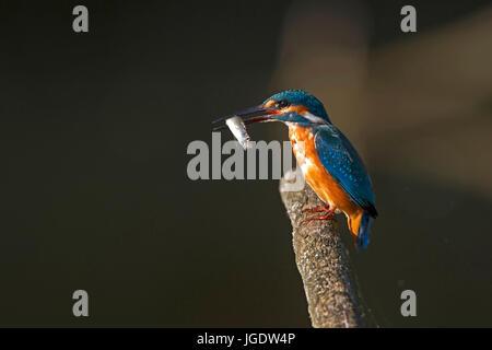 Kingfisher, Alcedo atthis, Eisvogel (Alcedo atthis) - Stock Image
