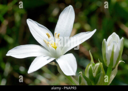 Star-of-Bethlehem (ornithogalum umbellatum), close up of a solitary flower with buds. - Stock Image