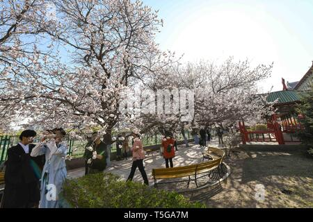 Harbin, China's Heilongjiang Province. 24th Apr, 2019. People walk and take photos under flowering apricot trees in Harbin Engineering University in Harbin, northeast China's Heilongjiang Province, April 24, 2019. Credit: Wang Song/Xinhua/Alamy Live News - Stock Image