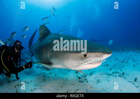 Tiger Shark (Galeocerdo cuvier) Swimming by Closely. Tiger Beach, Bahamas - Stock Image