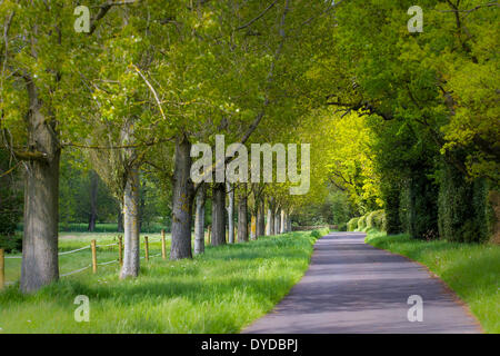 An avenue of trees lines a small road. - Stock Image