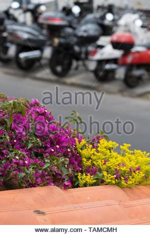 Bougainvillea and Stonecrop, Italy - Stock Image