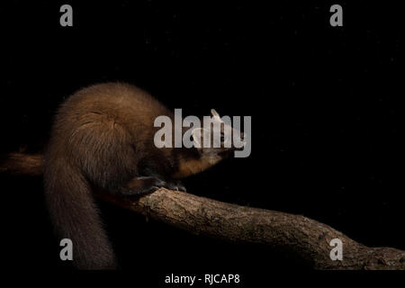 Pine marten on a tree - Stock Image