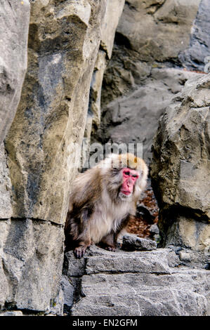 Snow Monkey, Japanese Macaque, Macaca fuscata, peering out from rocks, Central Park Zoo, New York, NY, USA - Stock Image