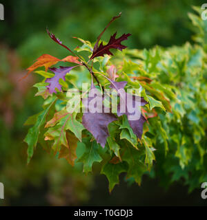 Pin Oak 'Quercus palustris' in its autumn foliage photographed at Wakehurst Wild Botanic Garden in England - Stock Image