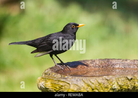 Close up of a male Blackbird Turdus merula in profile perching on the side of a garden bird bath - Stock Image