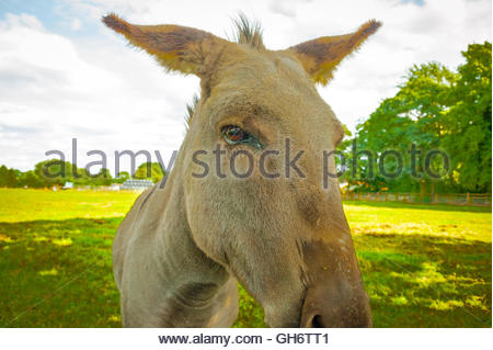 Stock close up portrait photo of a donkey in a field Lancashire showing the side of his head in profile Equus africanus - Stock Image