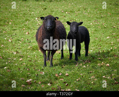 Black sheep at the St Fagans National Museum of History, Cardiff, South Wales - Stock Image