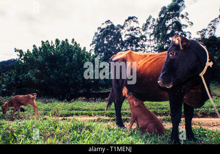 Animal nurses cub of another race - cow feeds litlle fat pig. - skinny undernourished calf in background. - Stock Image