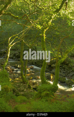Late afternoon sunlight raking through the trees above the River Plym on Dartmoor - Stock Image