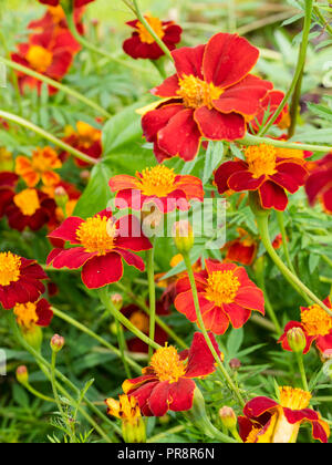 Gold rimmed red single flowers of the tall annual growing african marigold, Tagetes 'Cinnabar' - Stock Image