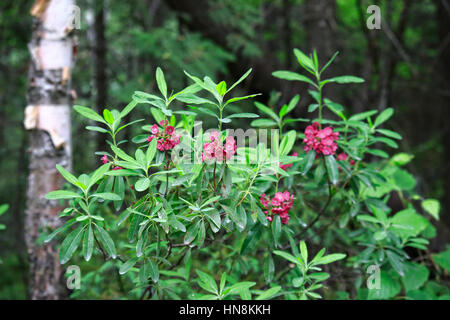 Kalmia polifolia, aka Bog Laurel in flower along hiking trail in woods in Temagami Lakes, Ontario, Canada - Stock Image