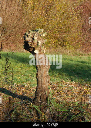 Pruned tree giving the impression of a scarred fist - Stock Image