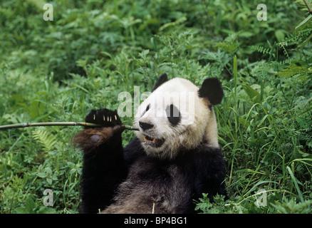 Giant panda lolls to feed Wolong, China, June - Stock Image