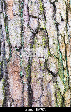 Close up of the bark of an old cedar tree as a background image - Stock Image