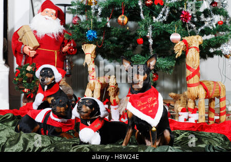 small puppies dressed up as father christmas - Stock Image