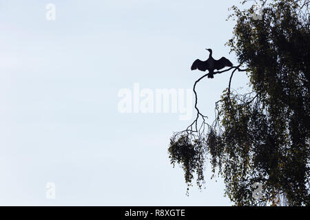 Silhouette of a Great Cormorant perched in a tree with its wings spread to dry off - Stock Image