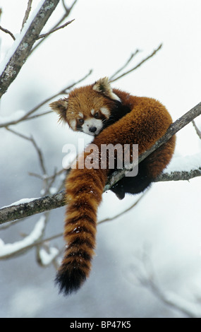Red or lesser panda in tree with snow, Wolong China, February - Stock Image