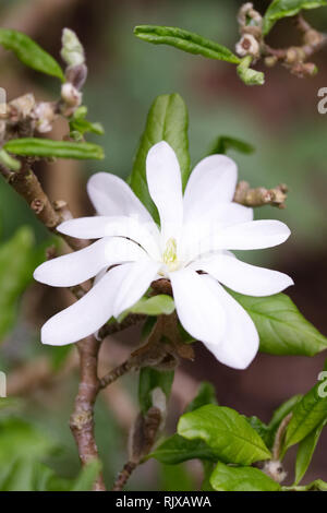 Magnolia stellata 'Waterlily' flower. - Stock Image