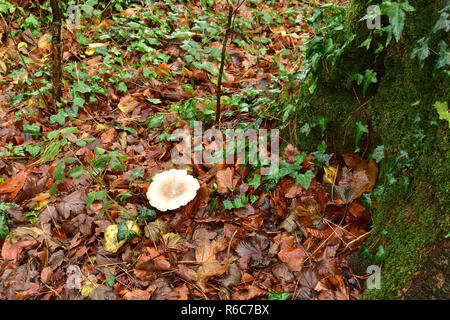 Autumn Fungus in a Woodland - Stock Image