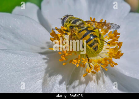 Hoverfly (Syrphidae) Diptera Arthropoda On A Flower - Stock Image