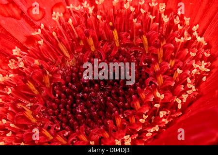 Red Gerbera daisy - Stock Image