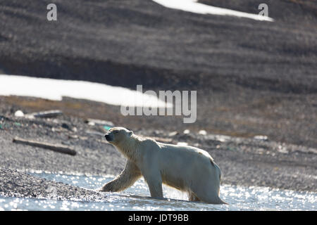 An adult polar bear walks ashore onto a shingle beach in Mushamna, Spitzbergen - Stock Image