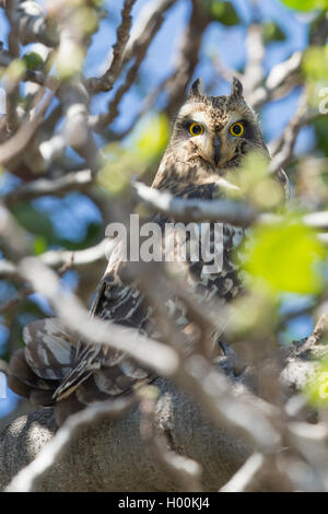 Short-eared Owl on migrating through Andalucia - Stock Image