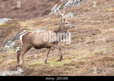 Red Deer stag at Strathconon in the Scottish Highlands - Stock Image