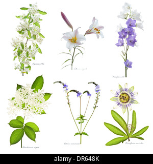 Pyracantha, Lilium regale, Campanula, Sambucus nigra, Salvia nemorosa, Passiflora caerulea flowering in July Leed West Yorkshire - Stock Image