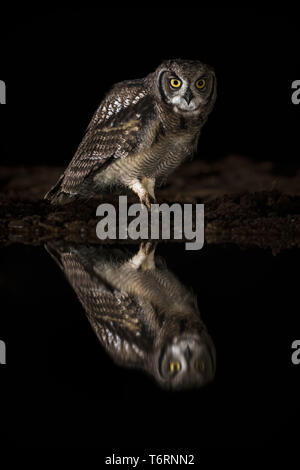 Spotted eagle owl (Bubo africanus) at night, Zimanga private game reserve, KwaZulu-Natal, South Africa, September 2018 - Stock Image