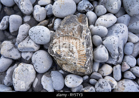 Fossil on the beach at Monknash on the Glamorgan Heritage Coast, South Wales - Stock Image