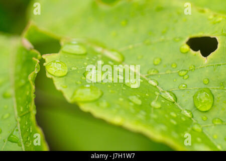 Green leaf with rain droplets - Stock Image