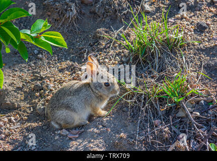 Very young Mountain or Nuttall's Cottontail Rabbit (Sylvilagus nuttallii) chewing on grass in early summer, Castle Rock Colorado US. - Stock Image